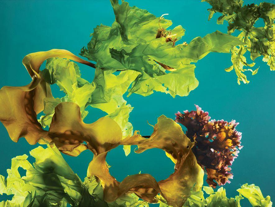 Uma mistura de algas, musgo e alface-do-mar na costa do Maine.