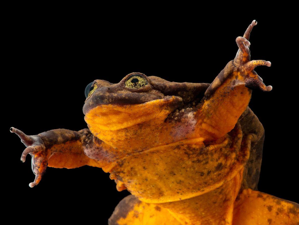 """Telmatobius yuracare (vulnerável) Durante 10 anos, este sapo, chamado """"Romeu"""", foi considerado o último da sua espécie. ..."""