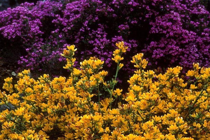 Flora característica da Serra da Malcata no verão