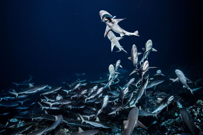 À noite, os tubarões-cinzentos-dos-recifes caçam em grupo no canal meridional do atol de Fakarava no Arquipélago ...