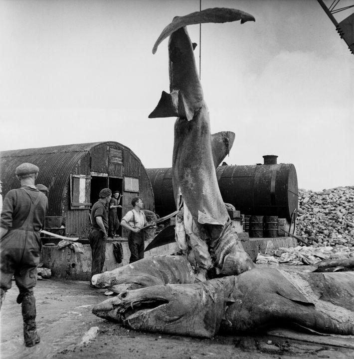 Nesta fotografia histórica, pescadores removem o fígado de um tubarão no Porto de Keel, na Irlanda.