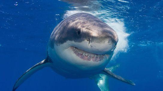Grande tubarão-branco.