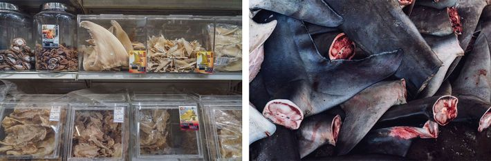 Esquerda: Barbatanas de tubarão secas e separadas para venda em Singapura, um dos centros de comércio ...