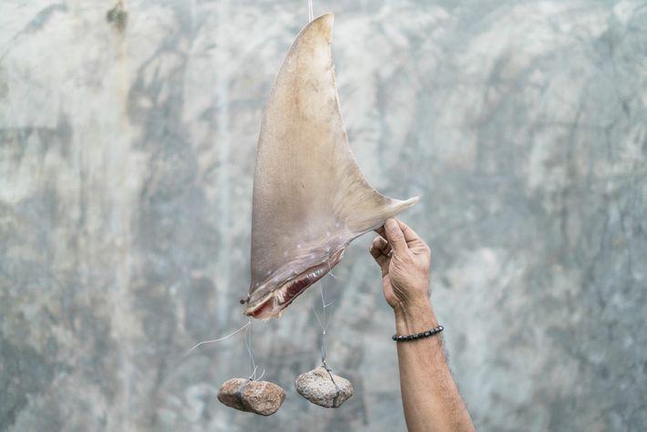 Uma barbatana de tubarão é atada com pedras para ajudar a manter a sua forma enquanto ...
