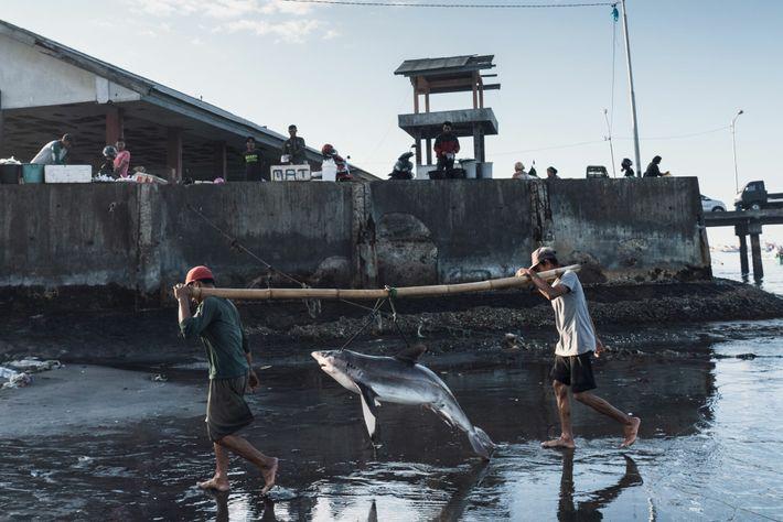 Pescadores transportam um tubarão em Tanjung Luar, na ilha indonésia de Lombok. A Indonésia é um ...