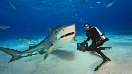 Fotografia de Vincent Canabel ao lado de um tubarão-tigre