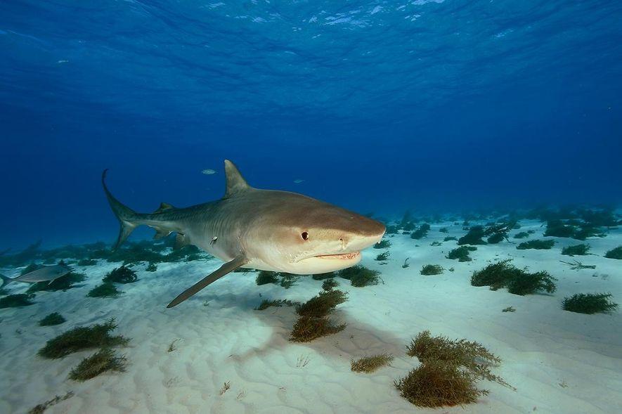 Fotografia de um tubarão-tigre no norte das Bahamas
