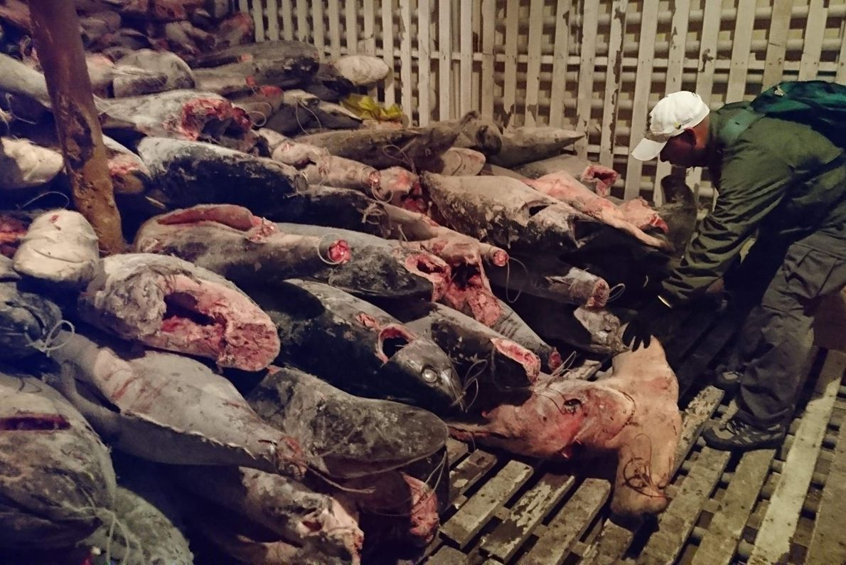 Chinese ship confiscated in Galápagos with thousands of sharks
