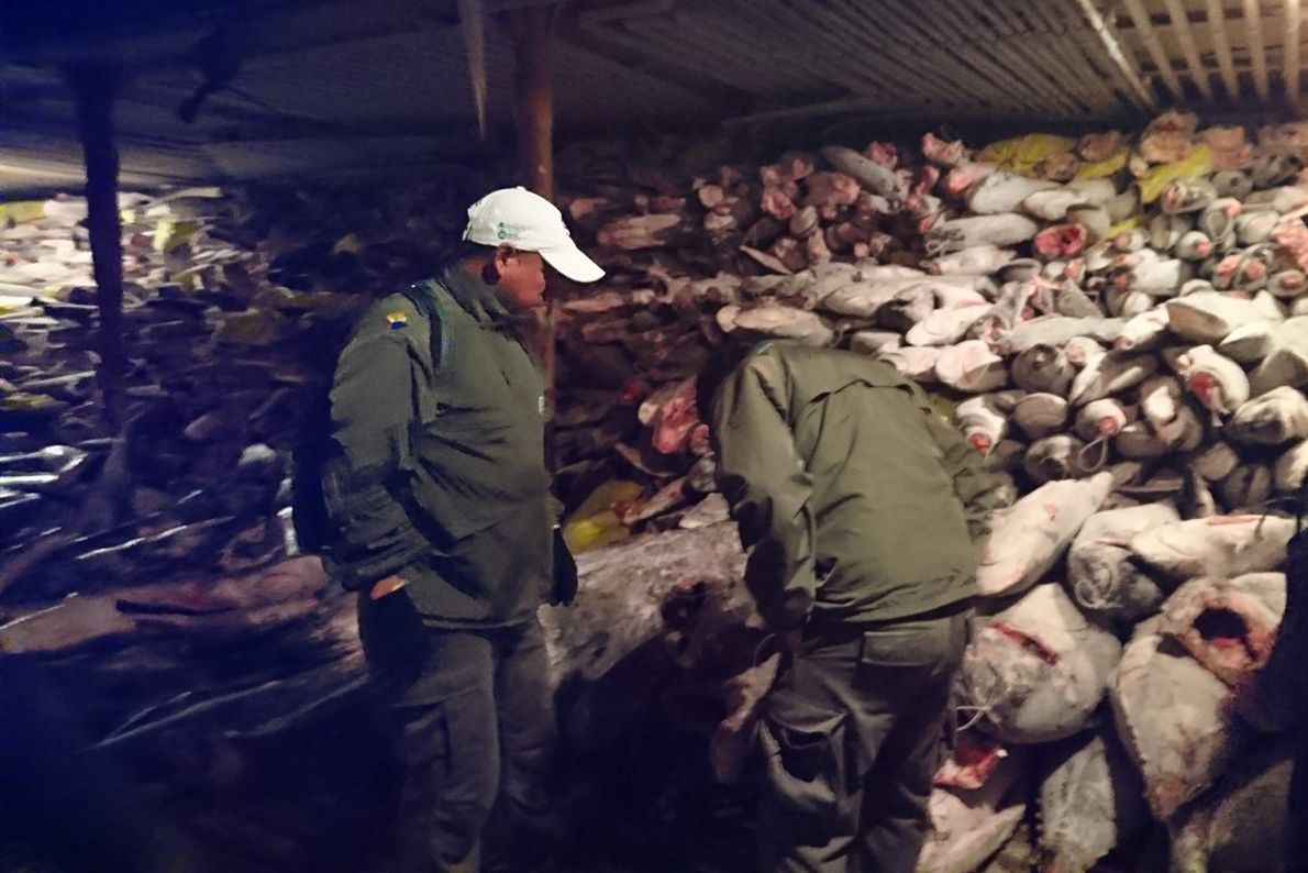 The sharks haven't been counted yet, but it's believed to be the biggest ever seizure of ...