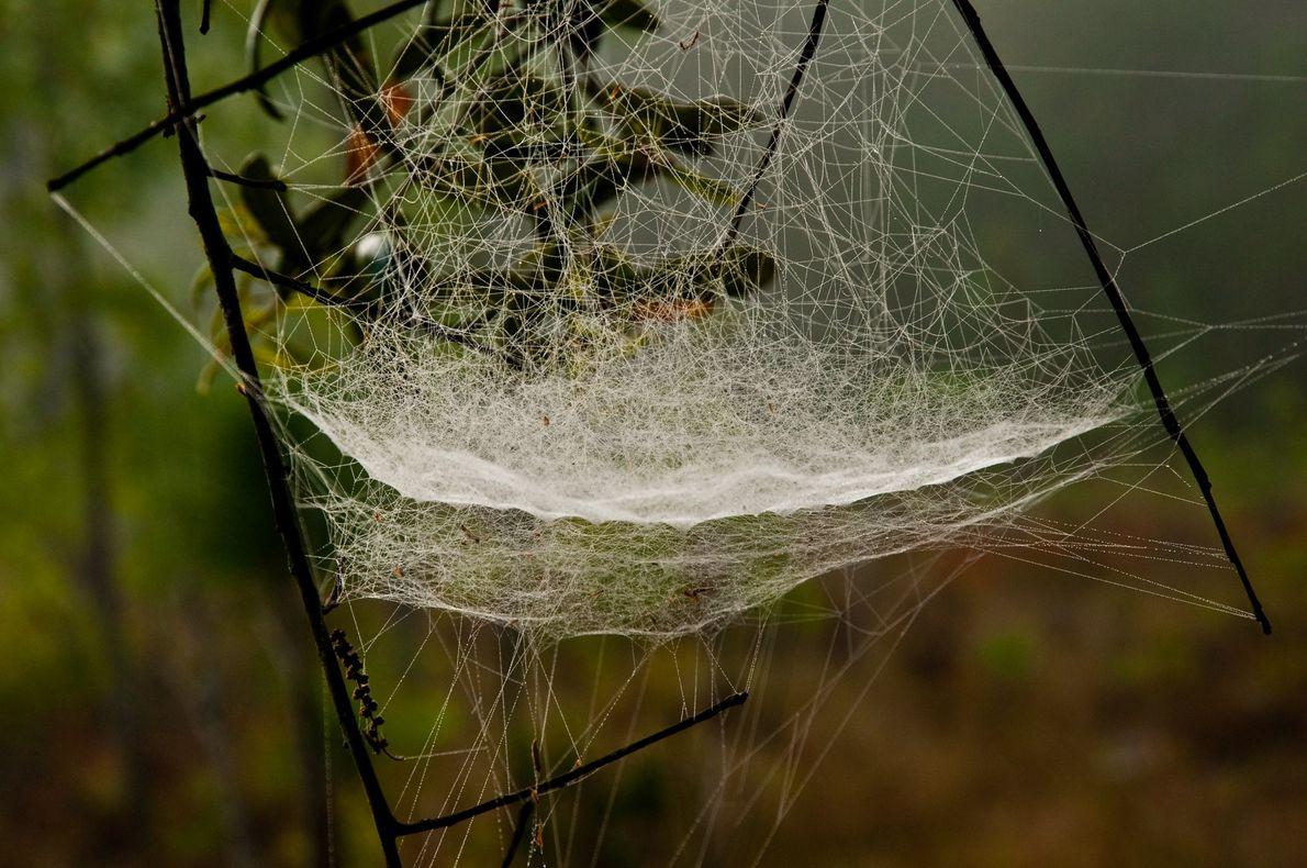 Teia de aranha tecida em forma de lençol, com o orvalho da manhã, em Alachua, na ...