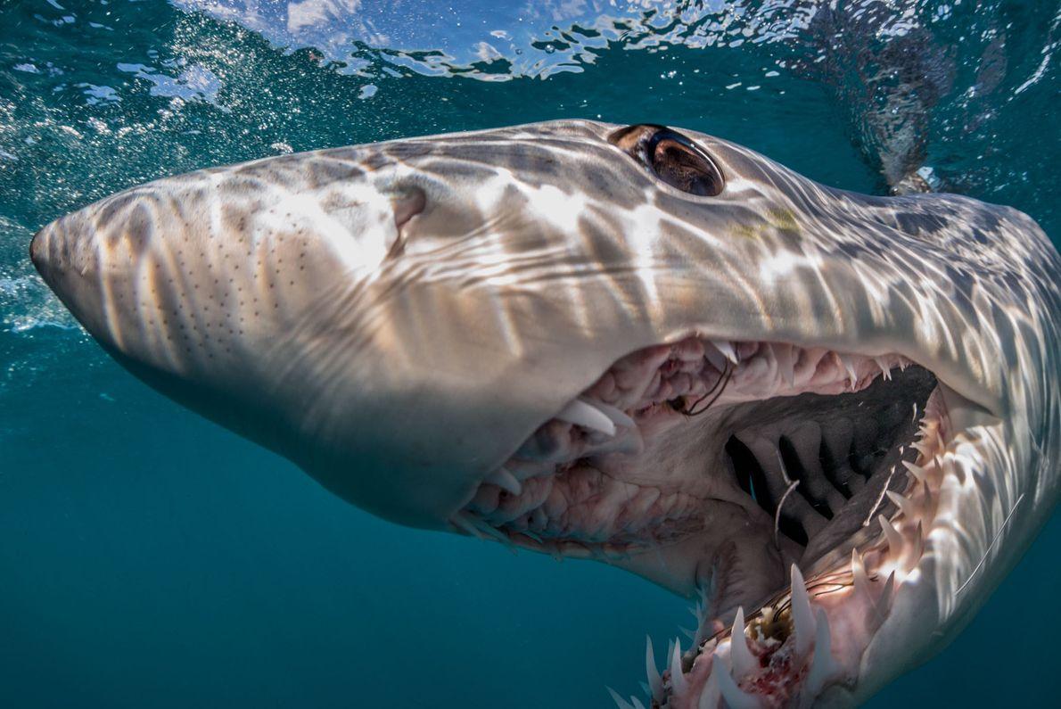 Um tubarão-sardo