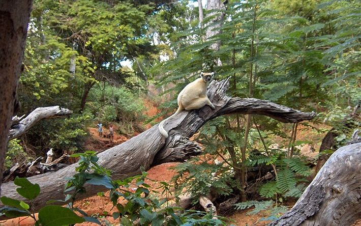 O sifaka de coroa-dourada (Propithecus tattersalli), uma espécie de lémure de Madagáscar, foi uma das espécies estudadas.