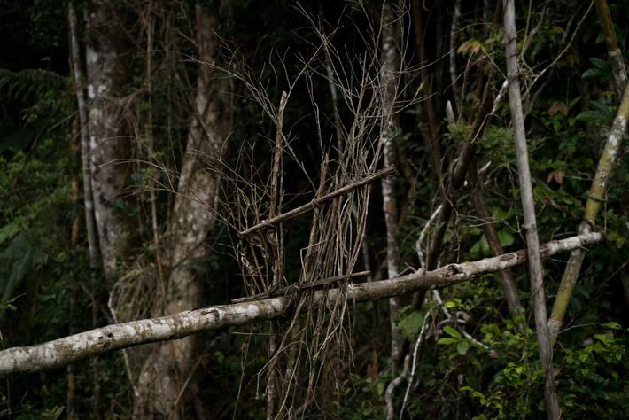 Por vezes, os caçadores usam armadilhas feitas de um tronco com um quadrado de pequenos ramos para ...