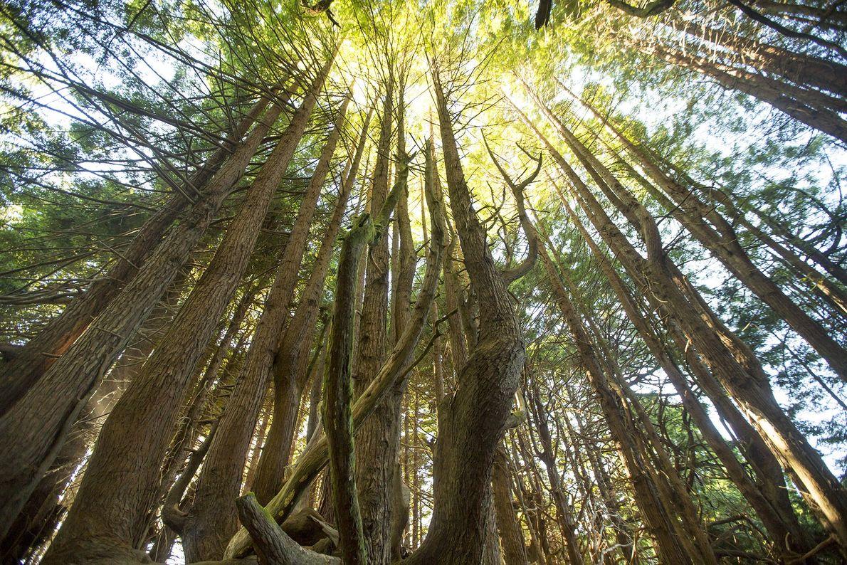 sequoias repletas de vida selvagem