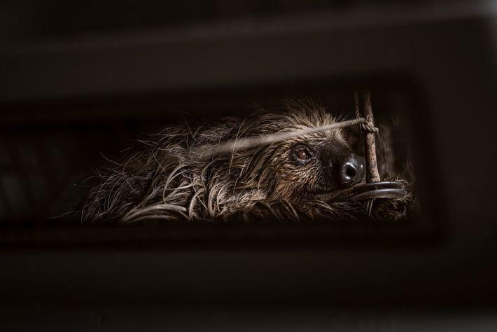 Preguiça resgatada