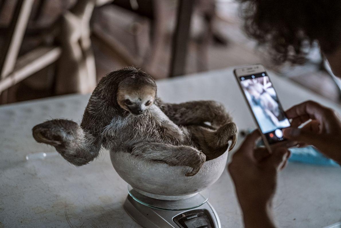Pool pesa e fotografa uma preguiça resgatada chamada Avestruz, no seu centro de reabilitação em Saramacca, ...