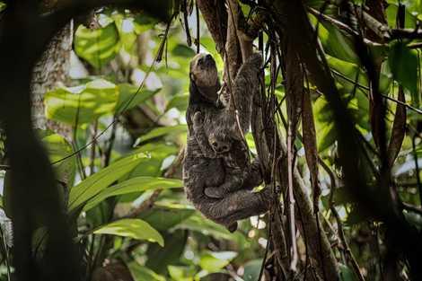 Preguiça numa árvore