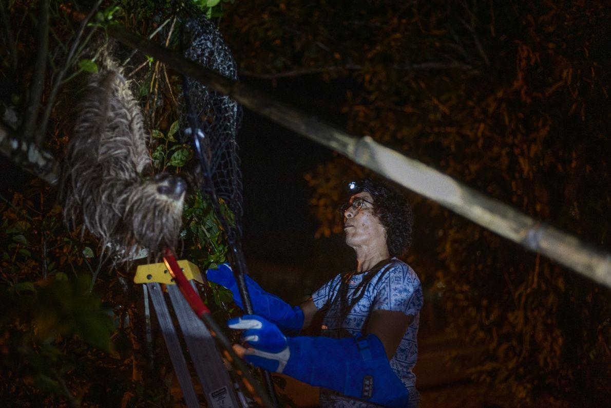 Monique Pool resgata uma preguiça de dois dedos sozinha (uma tarefa que não é fácil pois ...