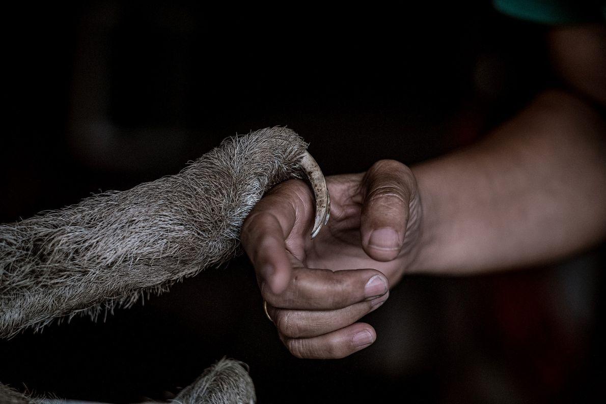 Os esforços de Monique Pool na conservação e resgate de preguiças são uma combinação da sua ...