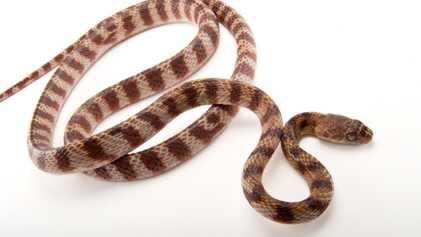 Espécies Invasoras de Cobras com Um Modo Completamente Novo de Locomoção