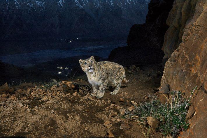 Uma armadilha fotográfica capta um velho leopardo-das-neves numa montanha com vista para o vale de Spiti, ...