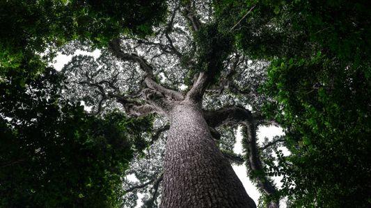 A segunda maior floresta tropical vai reabrir para a exploração madeireira em grande escala