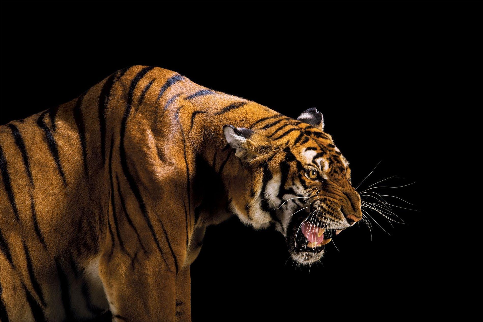 Não são encontrados vestígios do tigre-do-sul-da-china, Panthera tigris amoyensis (ameaçado de extinção, possivelmente extinto na natureza), ...