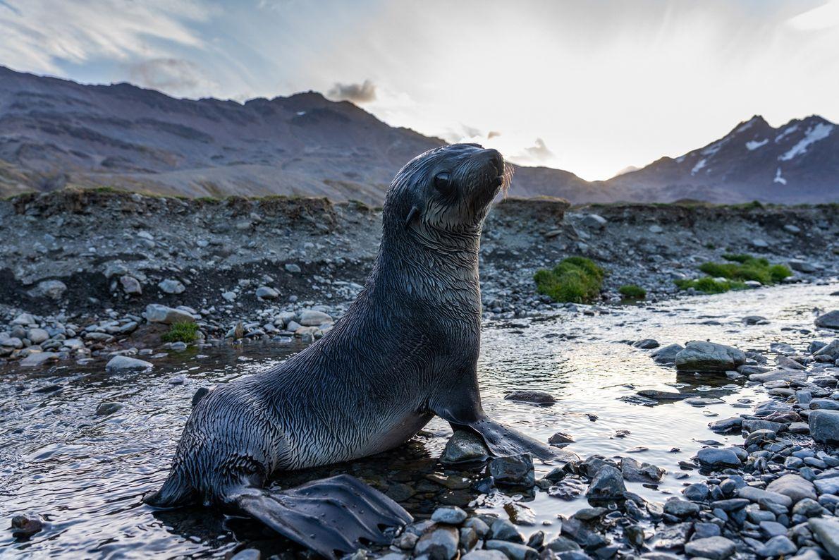 As focas, que outrora eram caçadas aos milhões pelas suas peles, agora amontoam-se nas rochas de ...