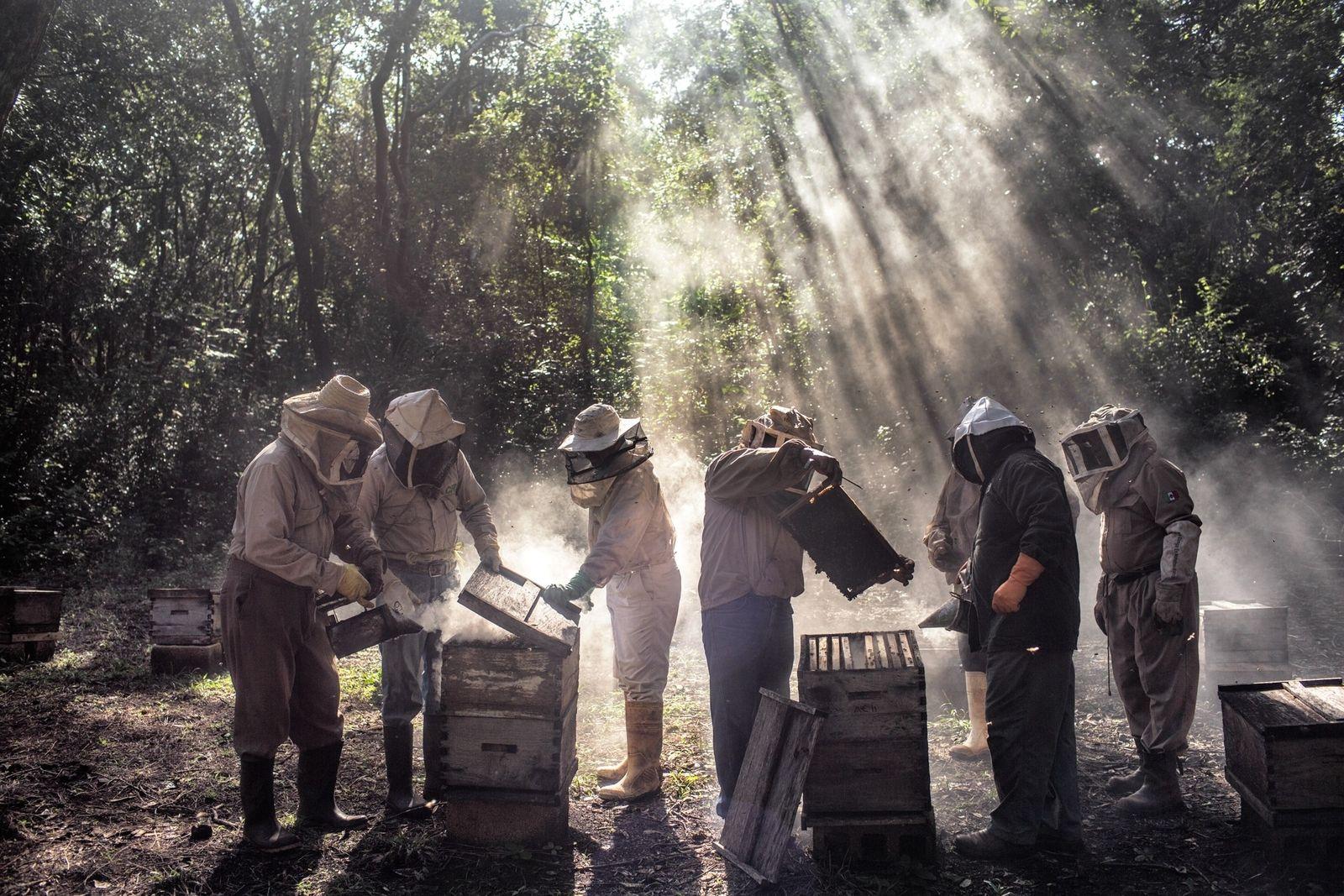 Em Tinun, no México, um grupo de apicultores cuida das colmeias durante o período de entressafra. ...