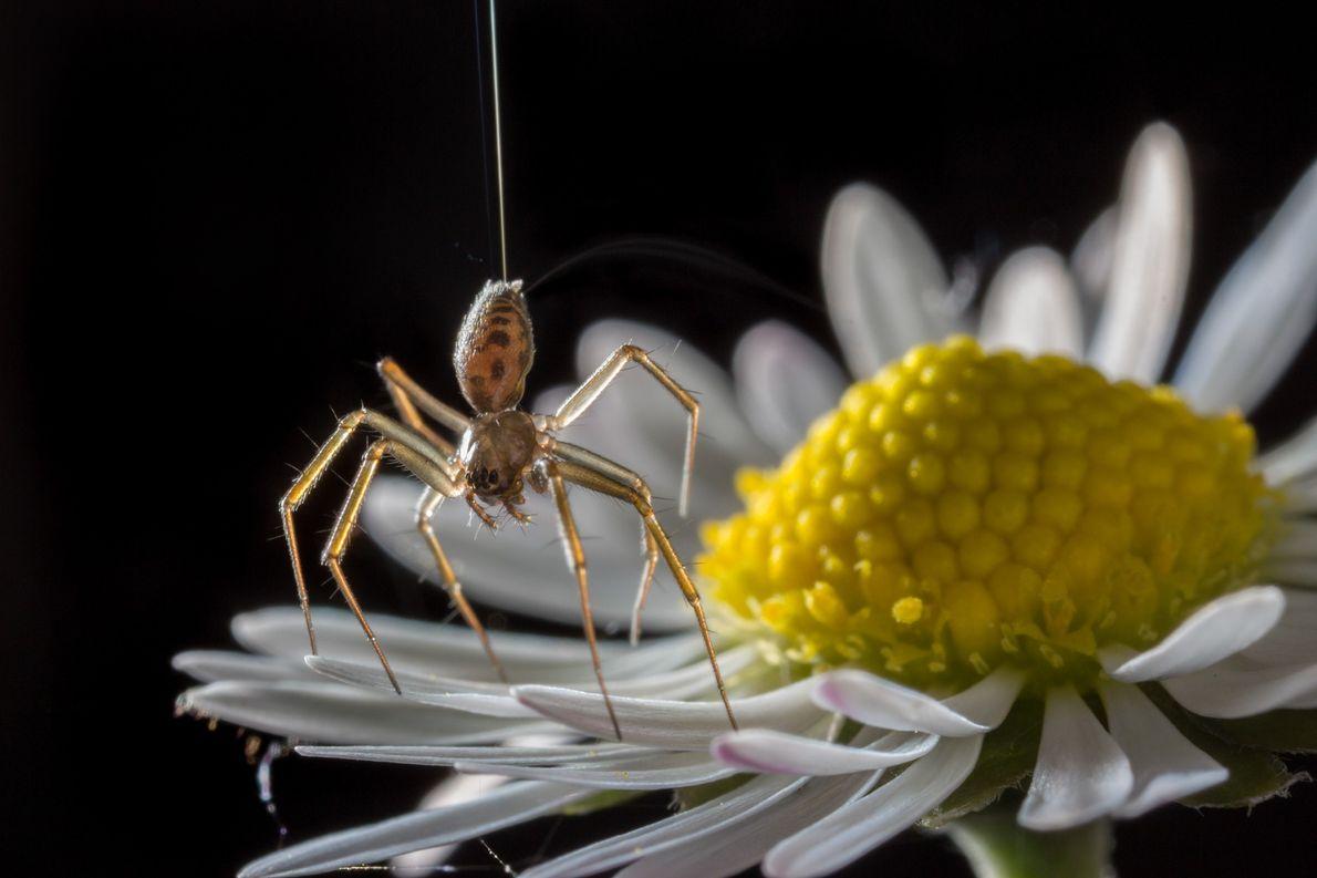 Uma aranha da espécie Tenuiphantes a tocar com as pontas das patas num malmequer. As aranhas ...