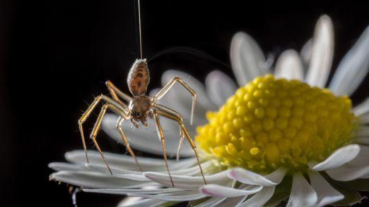 Seda de Aranha: Um dos Materiais Mais Flexíveis do Mundo