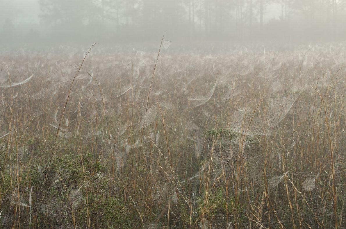 Teias de aranha nos arbustos de um pântano, numa quinta de gado no centro da Flórida, ...