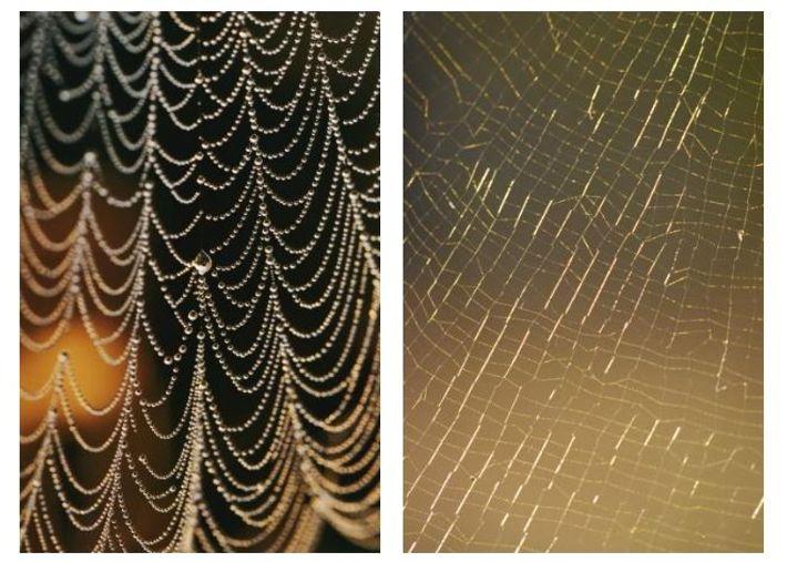 Esquerda: Uma teia coberta de orvalho da manhã. Direita: Uma teia delicada a brilhar com o pôr ...