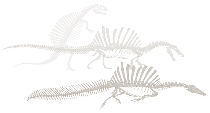 Na década de 1930, quando Stromer tentou reconstruir o espinossauro, preencheu os detalhes em falta com ...