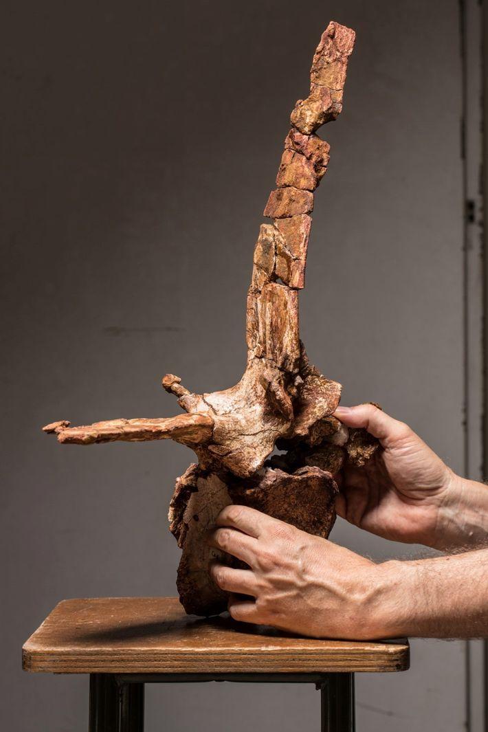 O paleontólogo Cristiano Dal Sasso segura cautelosamente a quarta vértebra da base caudal do espinossauro, uma ...