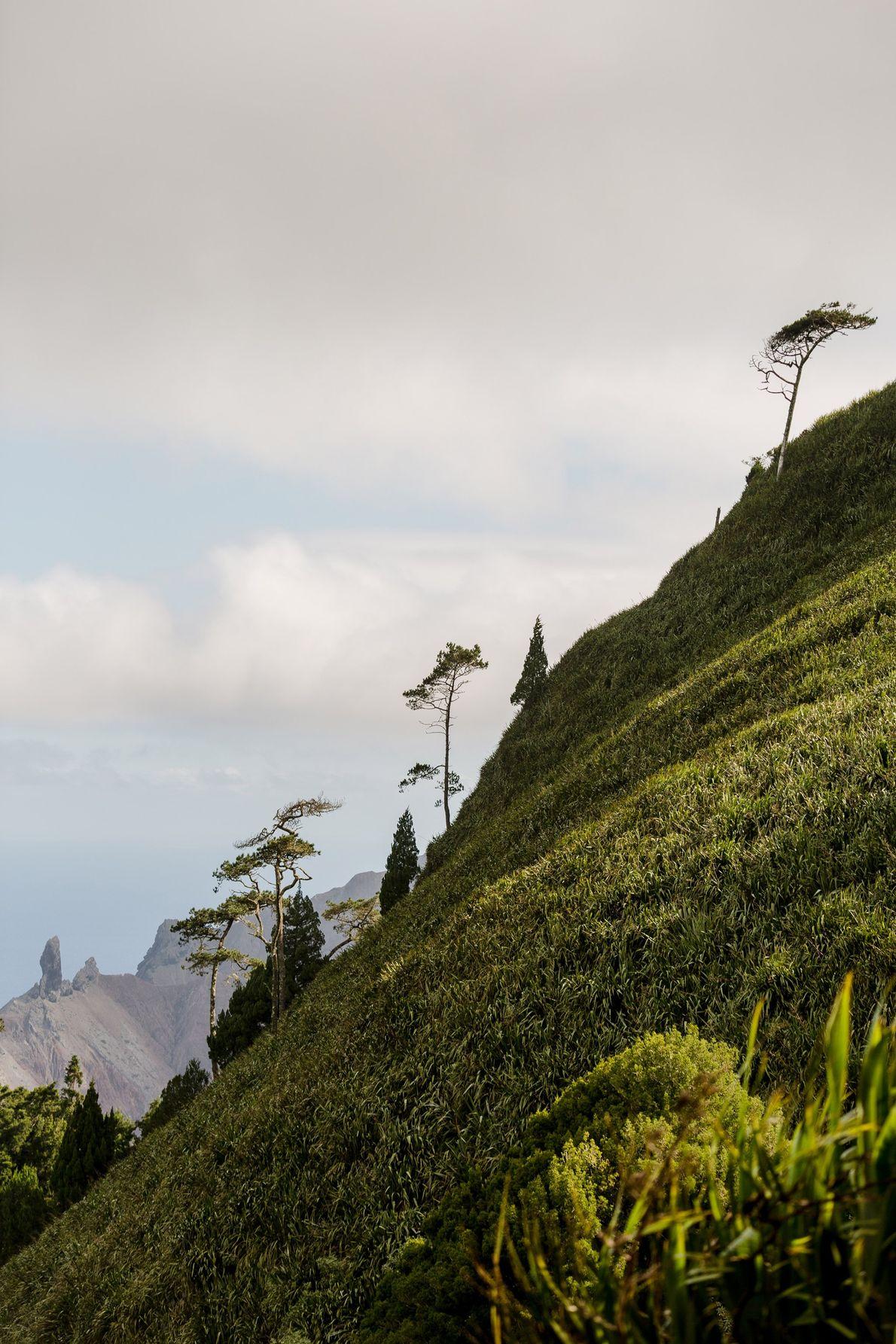 As colinas e montanhas de Santa Helena estão cobertas de linho da Nova Zelândia. Antigamente, estas ...