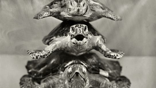 Because sea turtles are trafficked for their eggs, meat, and shells, every species of sea turtle ...