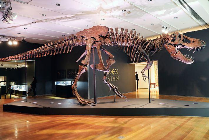 """O fóssil de Tyrannosaurus rex conhecido por """"Stan"""" é exibido numa das galerias da leiloeira Christie's, na ..."""