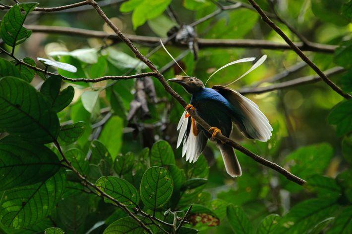 Os cientistas comparam o Ubirajara à ave-do-paraíso da Indonésia, cujos machos têm penas nos ombros igualmente ...