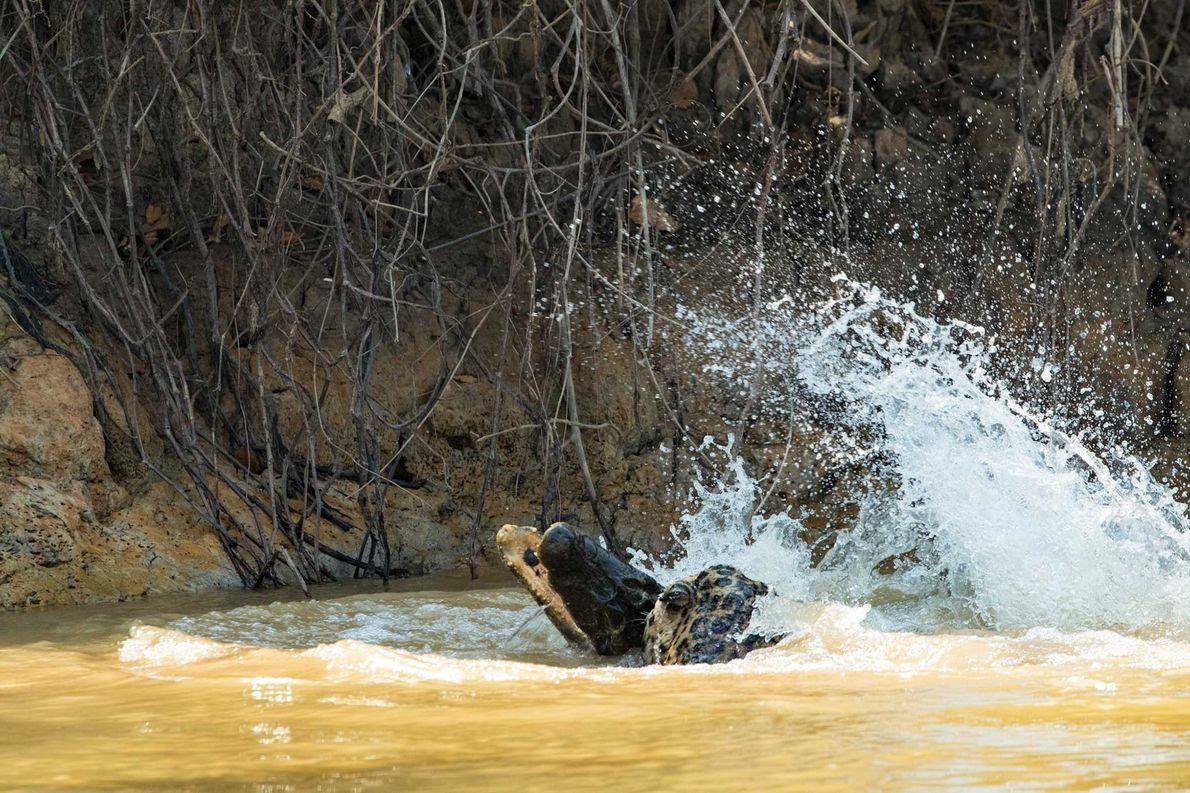 Jaguar a Caçar Crocodilo