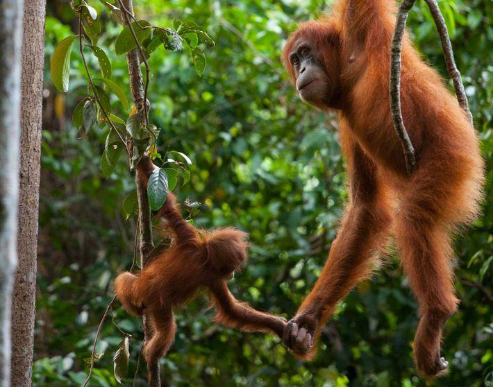 Uma mãe orangotango-de-sumatra dá a mão à sua cria