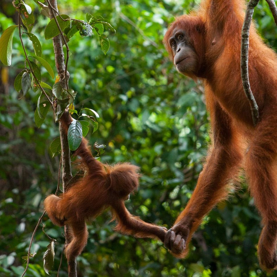 Primatas Ameaçados de Extinção Enfrentam Risco Elevado de Contrair COVID-19