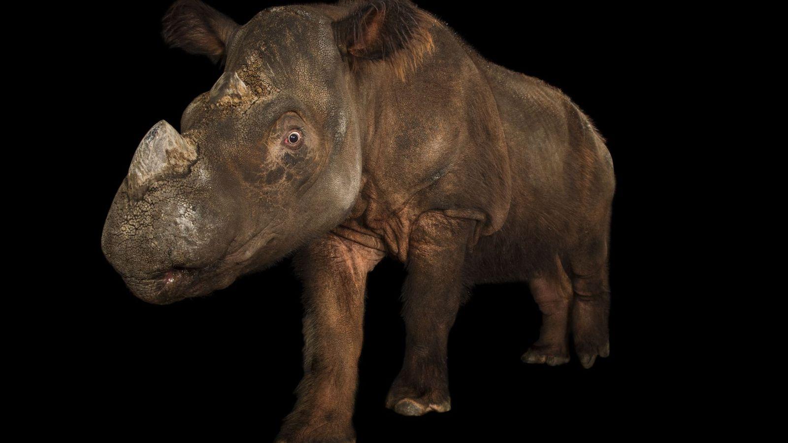 Este rinoceronte-de-sumatra criticamente em perigo foi fotografado no Jardim Zoológico de Cincinnati, no Ohio. Estima-se que ...
