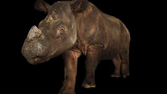 Capturado o Primeiro Rinoceronte-de-Sumatra em Tentativa Desesperada Para Salvar a Espécie