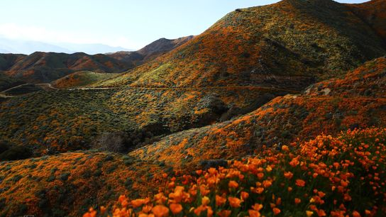 Um tapete de papoilas alaranjadas cobre as colinas do Walker Canyon, perto do lago Elsinore, na ...
