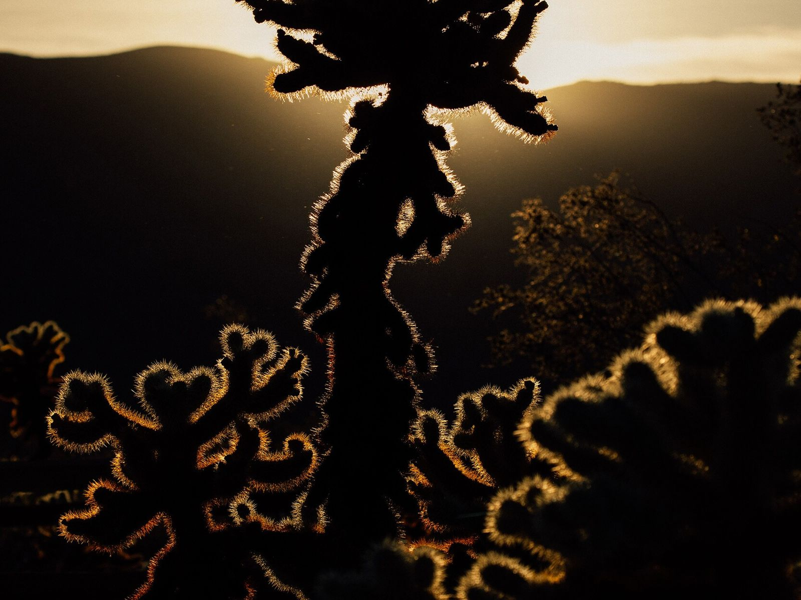 A cholla cactus in Joshua Tree National Park, California. Supporting the responsible use of public lands ...