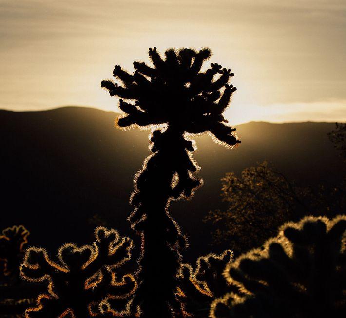 Um cacto Cylindropuntia no Parque Nacional Joshua Tree, na Califórnia. Apoiar a utilização responsável dos terrenos ...