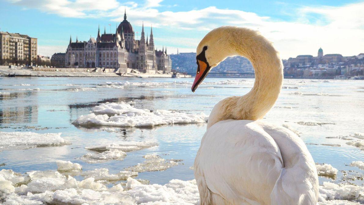 Um cisne observa o rio Danúbio, na capital húngara de Budapeste, quando o gelo começa finalmente ...