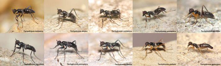 moscas-formiga