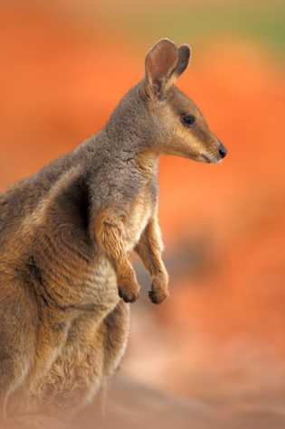 Qualquer coisa que interfira com a saúde reprodutora dos wallaby pode colocá-los em risco, dizem os ...